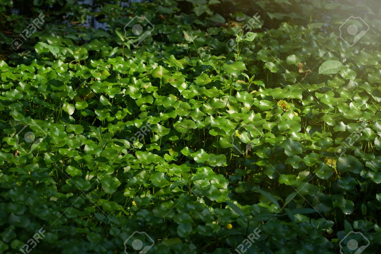 Asiatic Pennyworth Asiatic Leaves Background Use Nature Background 1300x867