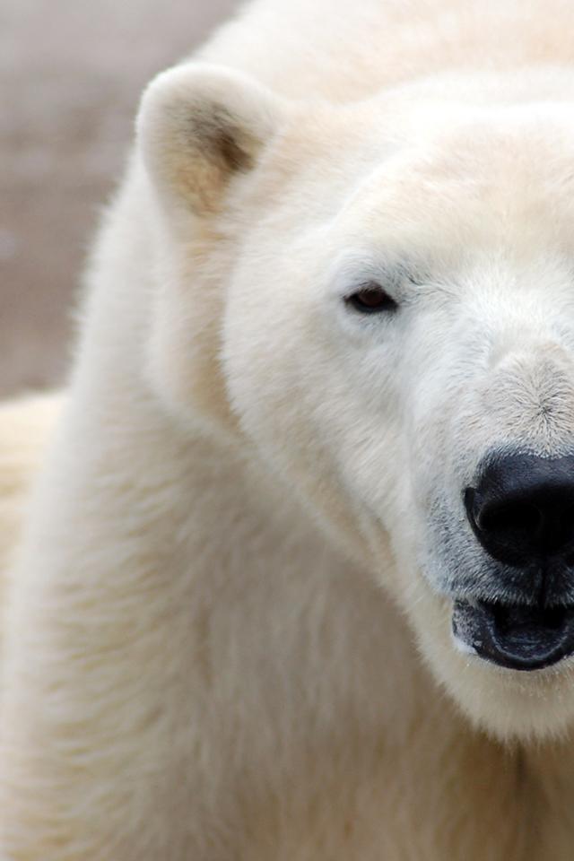Polar Bears iPhone Wallpaper 640x960