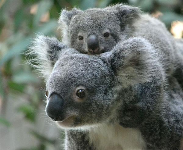[49+] Cute Baby Koala Wallpaper on WallpaperSafari