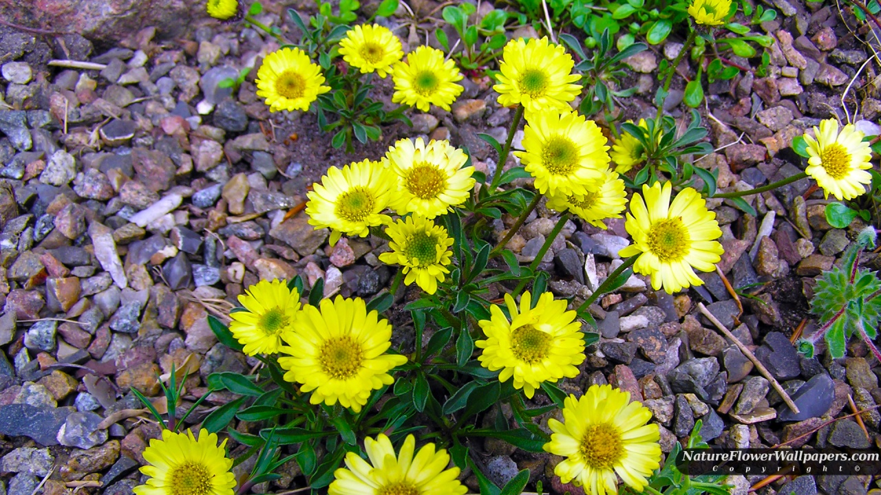 Yellow flowers in gravel wallpaper 1280x720 resolution