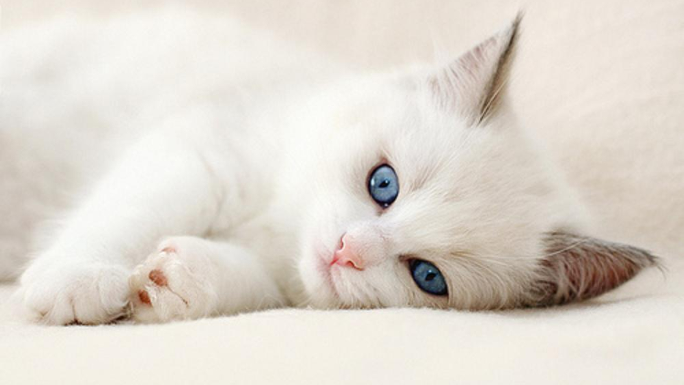 White Cat Hd Wallpapers Download New HD Wallpapers 1366x768