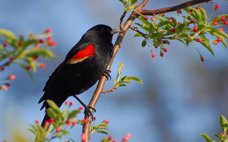Black Bird Wallpaper photo and wallpaper All Black Bird 1440x900