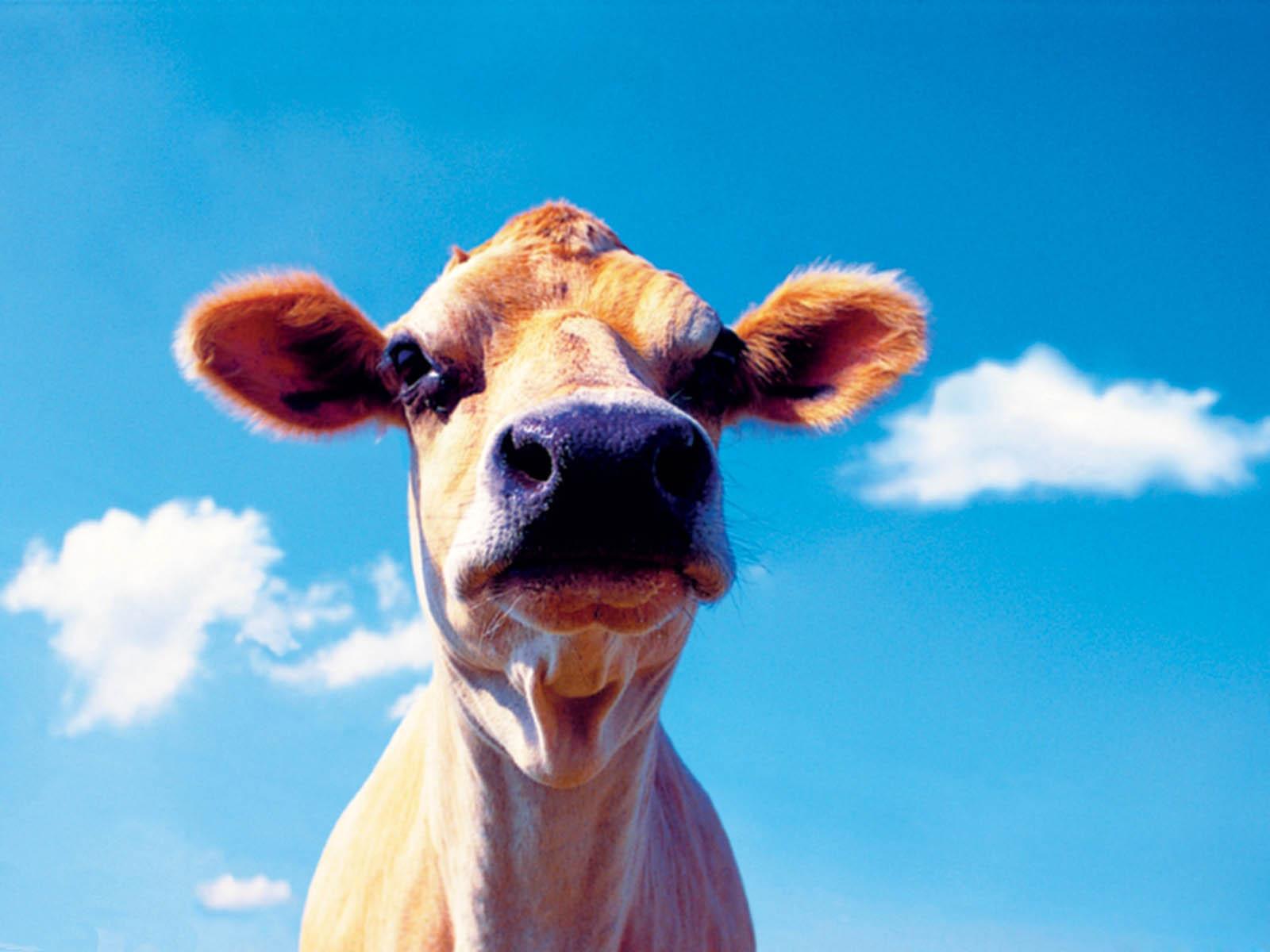 Картинки приколы коров