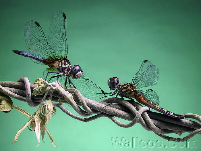 Funny Dragonfly wallpaper Amazing Wallpapers 700x525