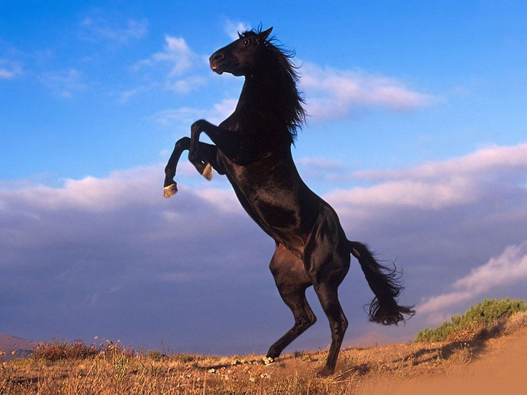 Beautiful black horse prancing wallpaper Beautiful Horses Wallpapers 1024x768
