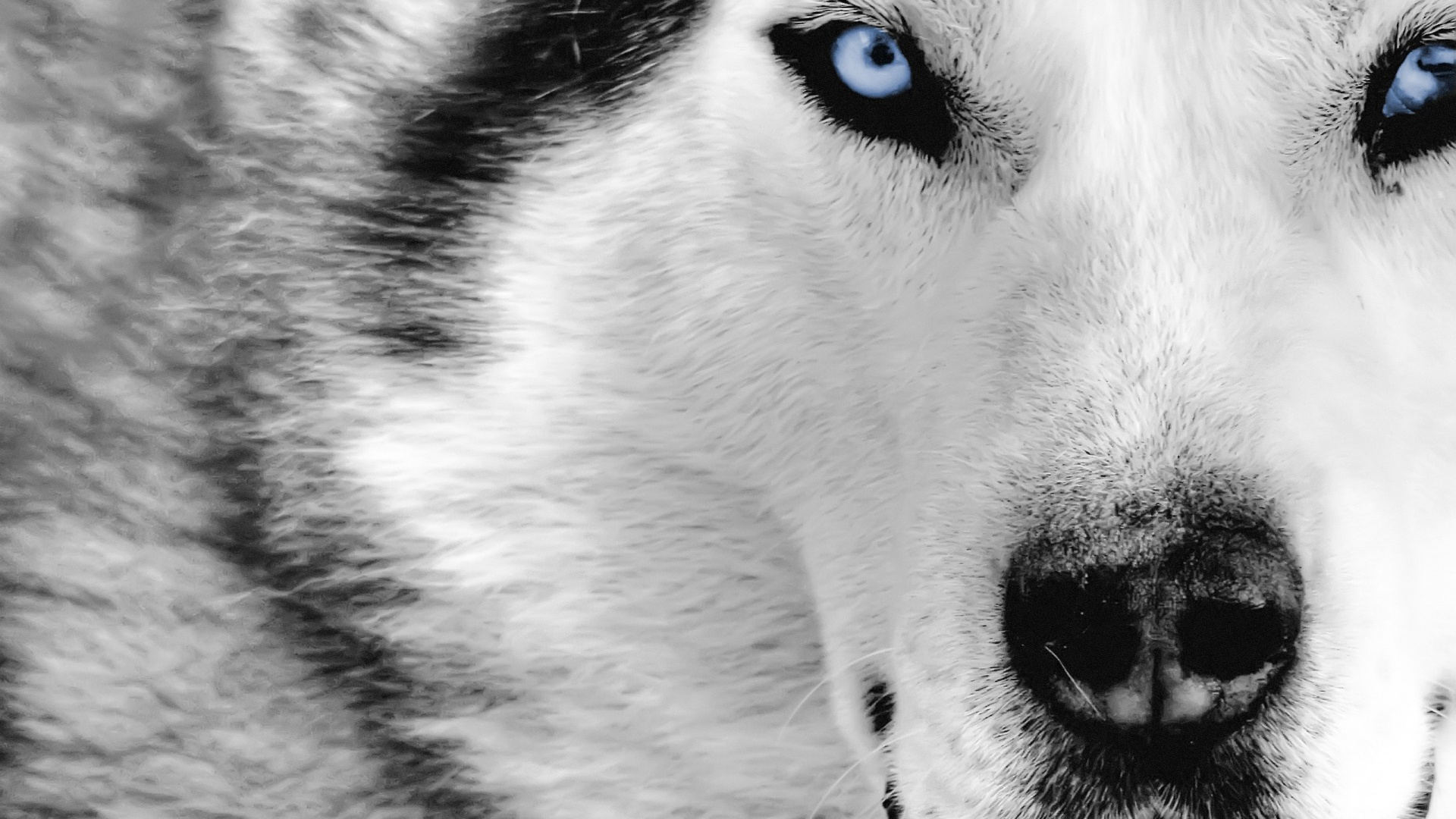 Wolves images Wolf wallpaper HD wallpaper and background 1920x1080