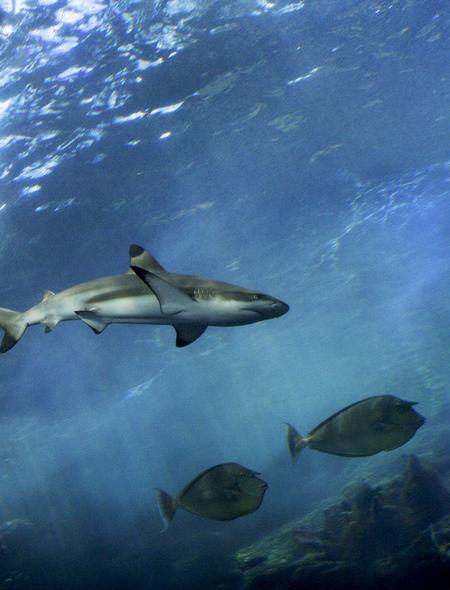Reef Shark Wallpaper for Amazon Kindle Fire HD 7 450x590