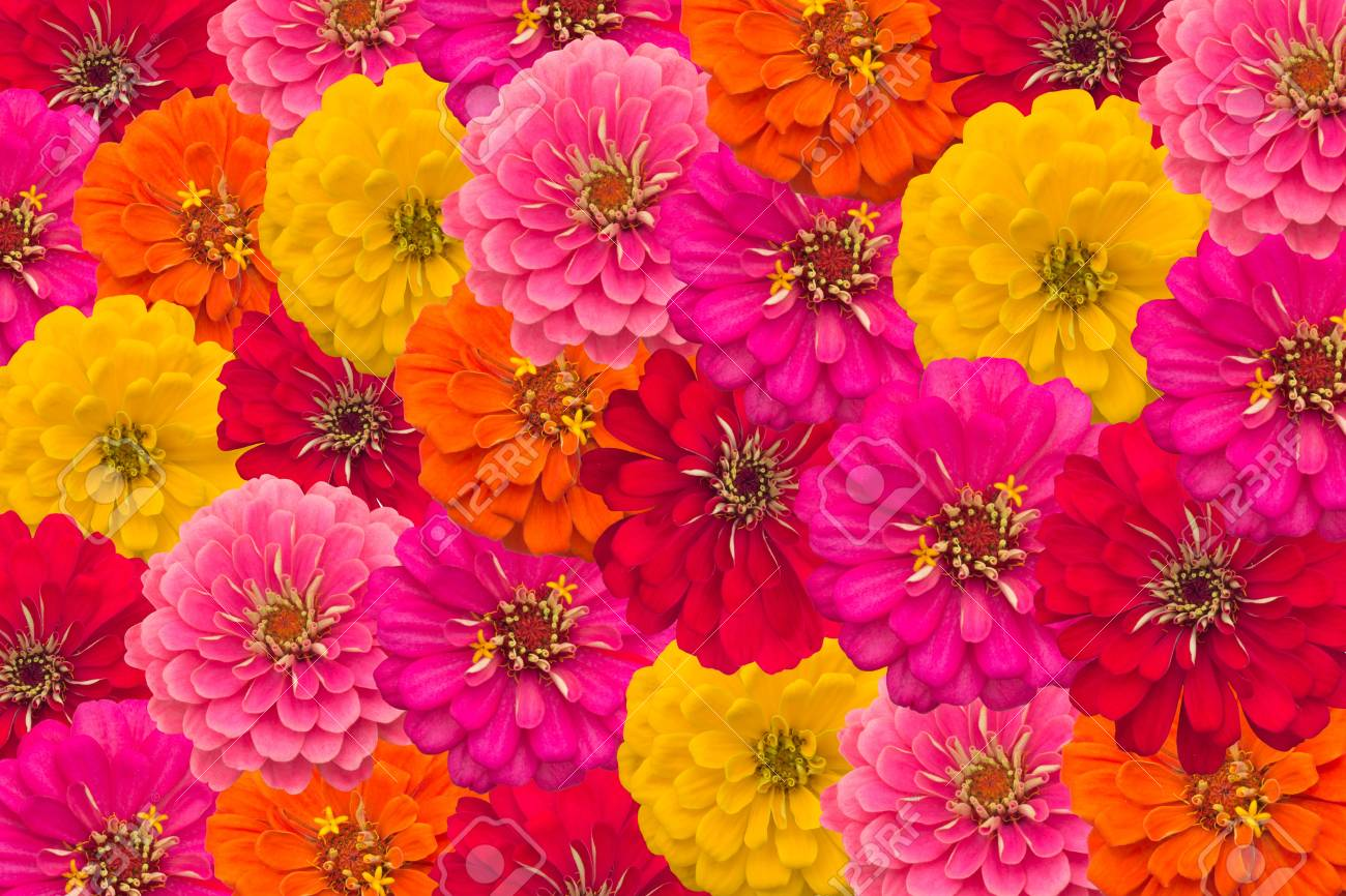 Blooming Zinnias Background Stock Photo Picture And Royalty 1300x866