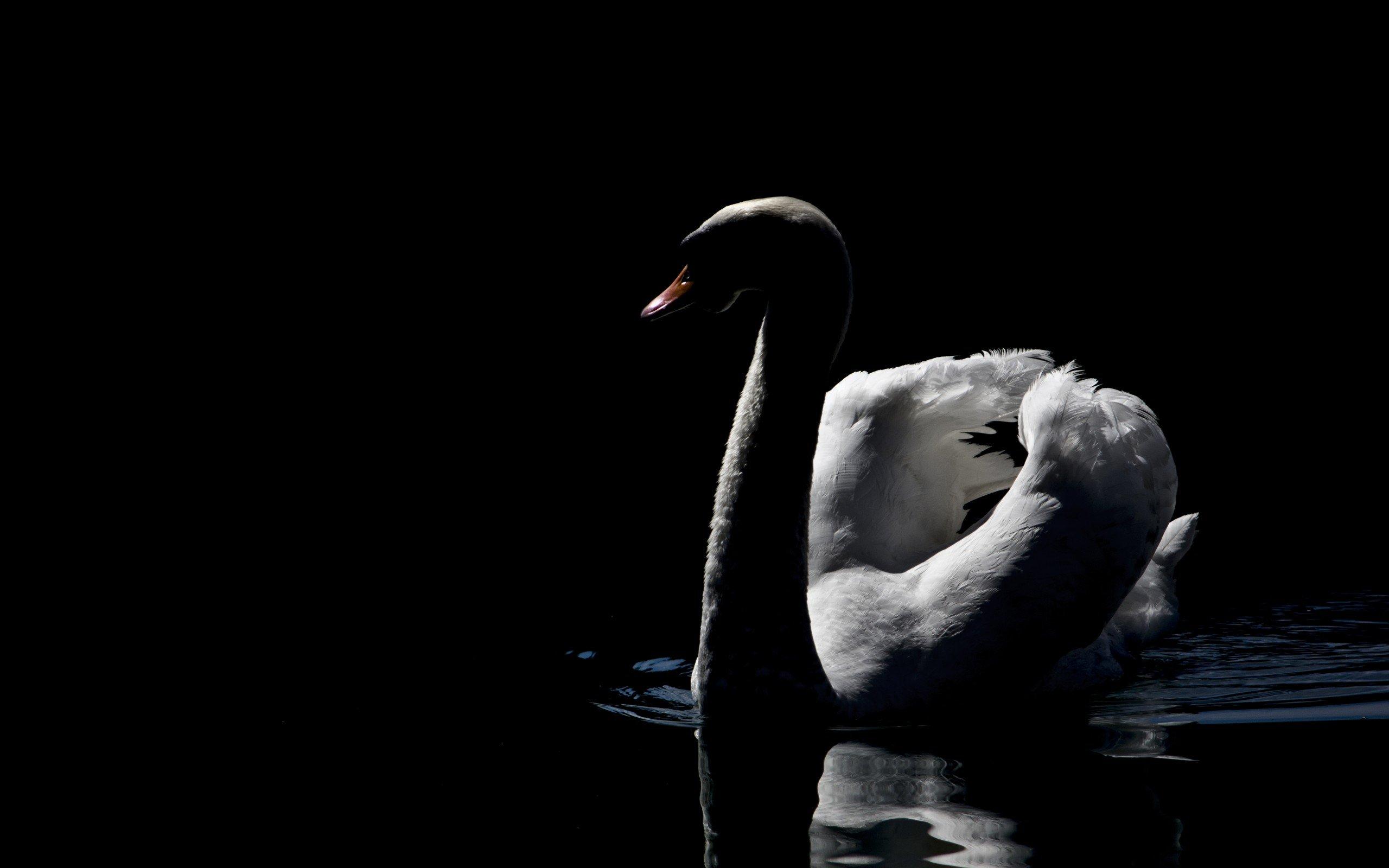 Black Swan Bird Wallpaper wwwpixsharkcom   Images 2560x1600
