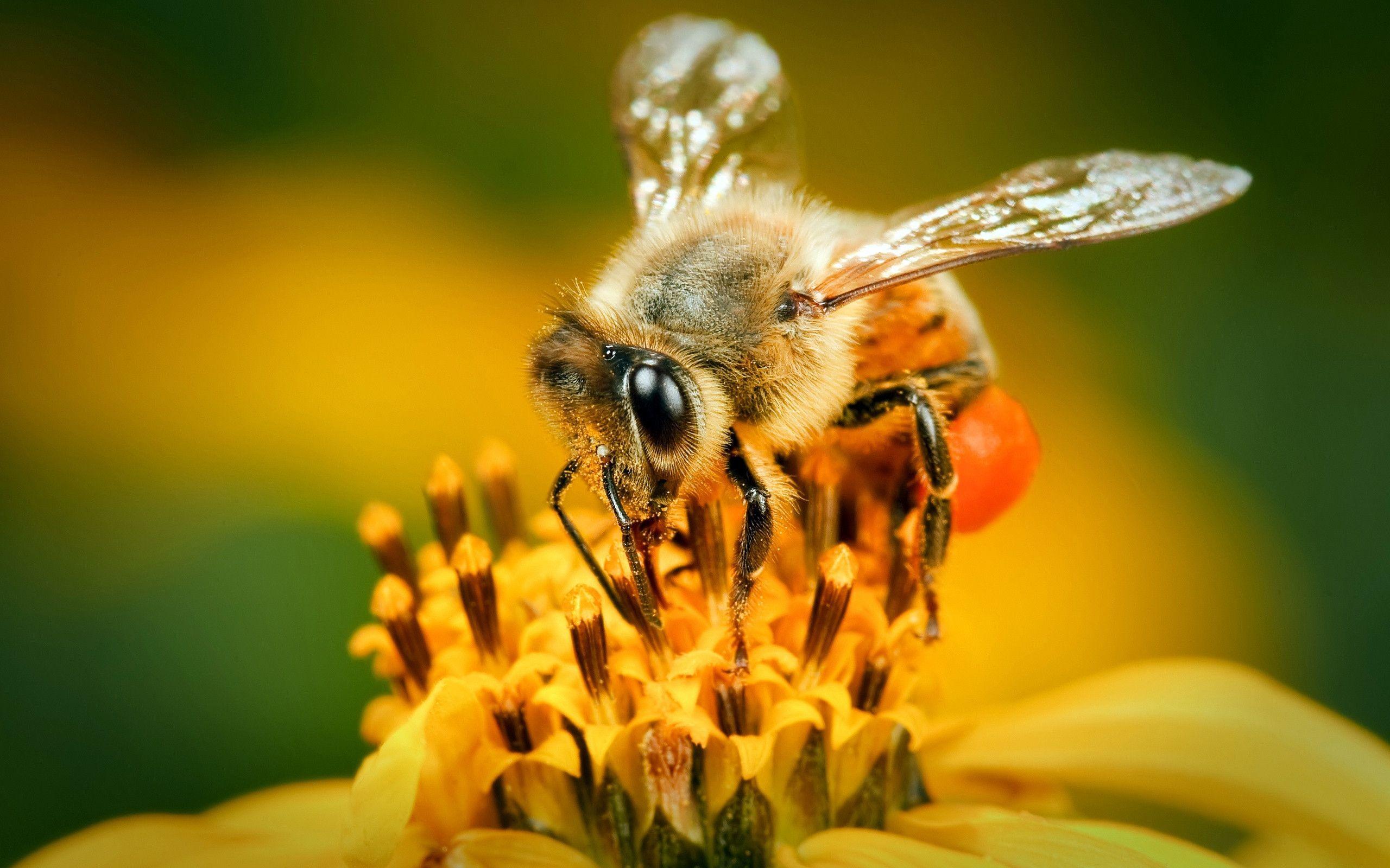 Bee Wallpapers 2560x1600