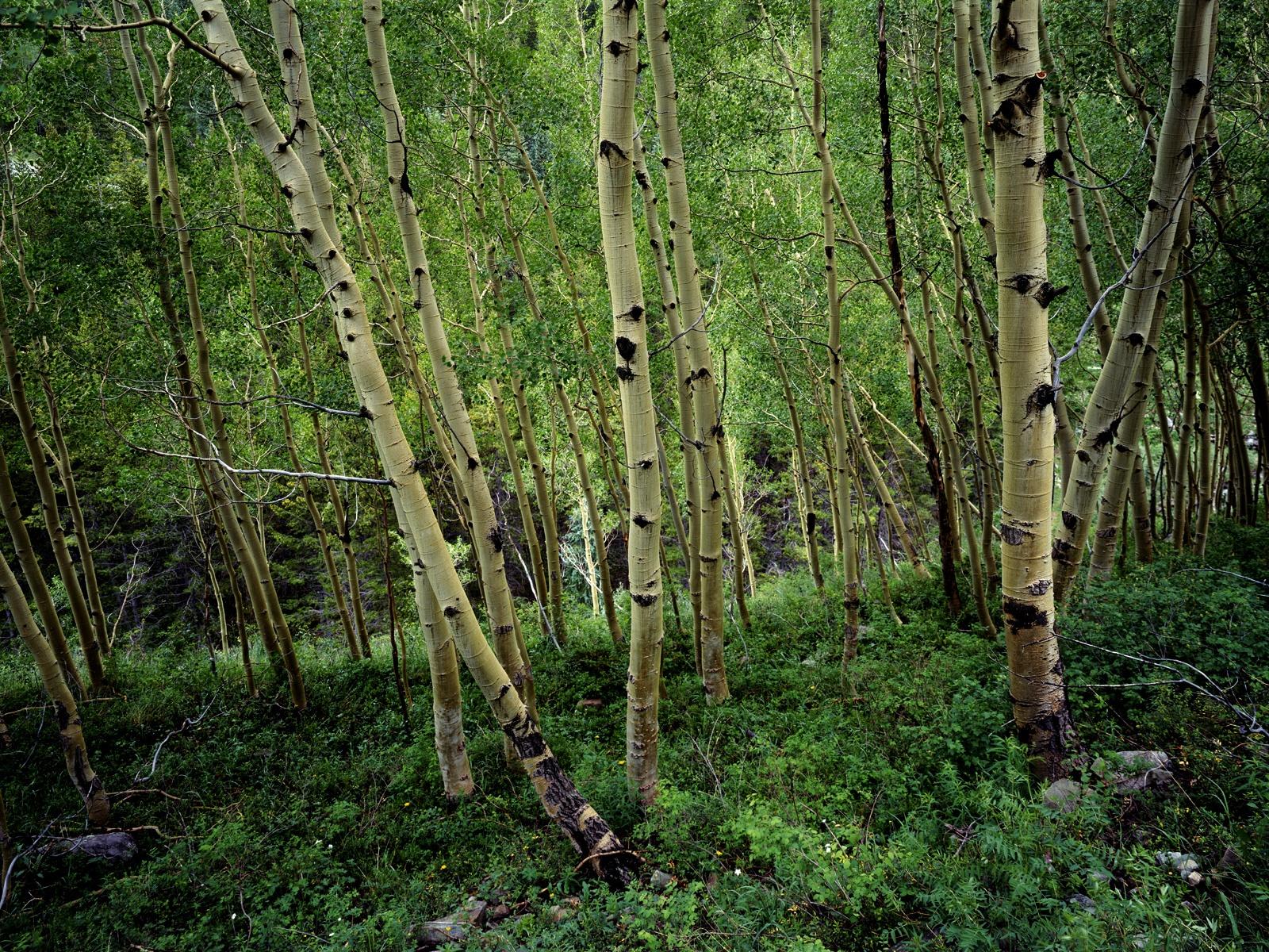 Wallpaper With Birch Trees Wallpapersafari
