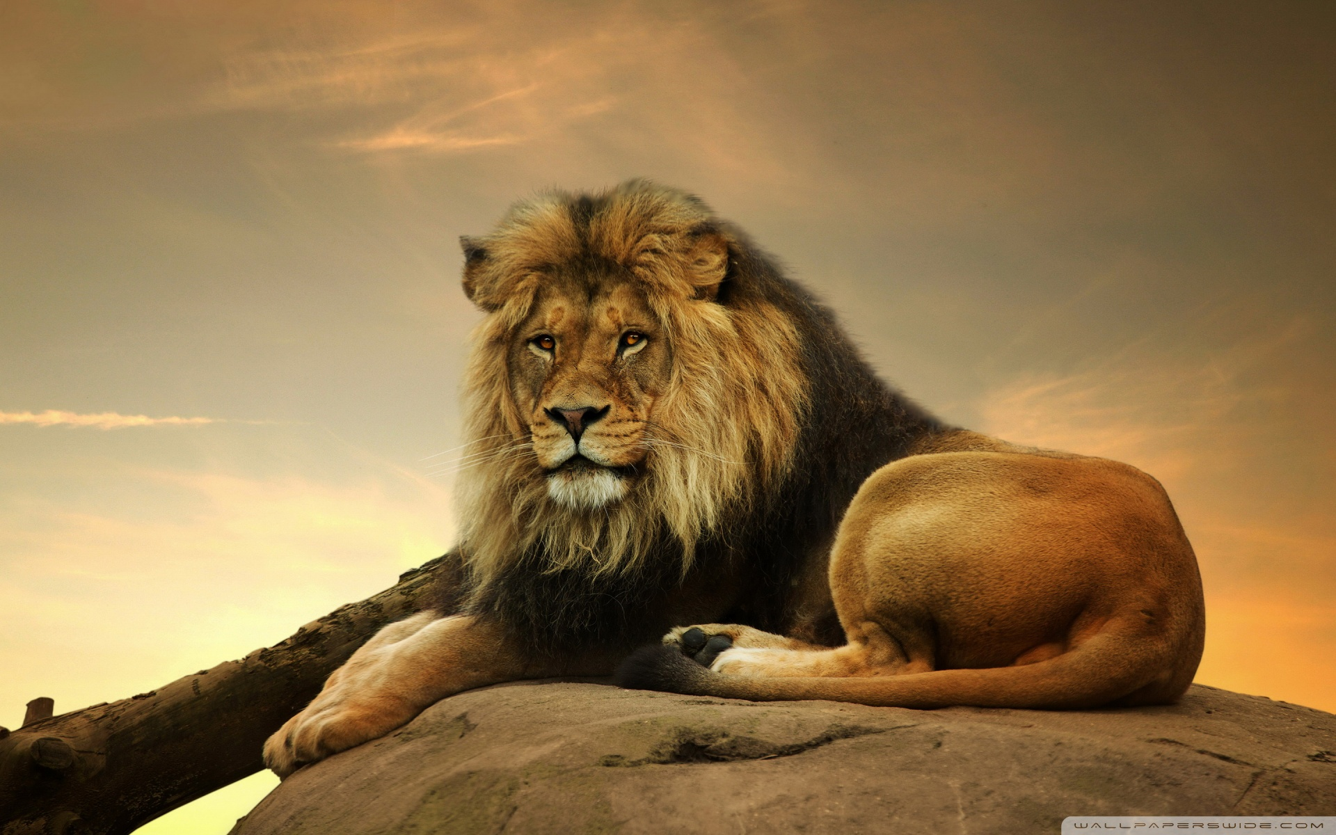 Big Lion On Stone phone wallpaper by kindrakay 1920x1200
