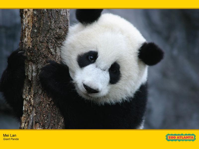 wwwhigh definition wallpapercomphotobaby panda wallpaper20html 800x600