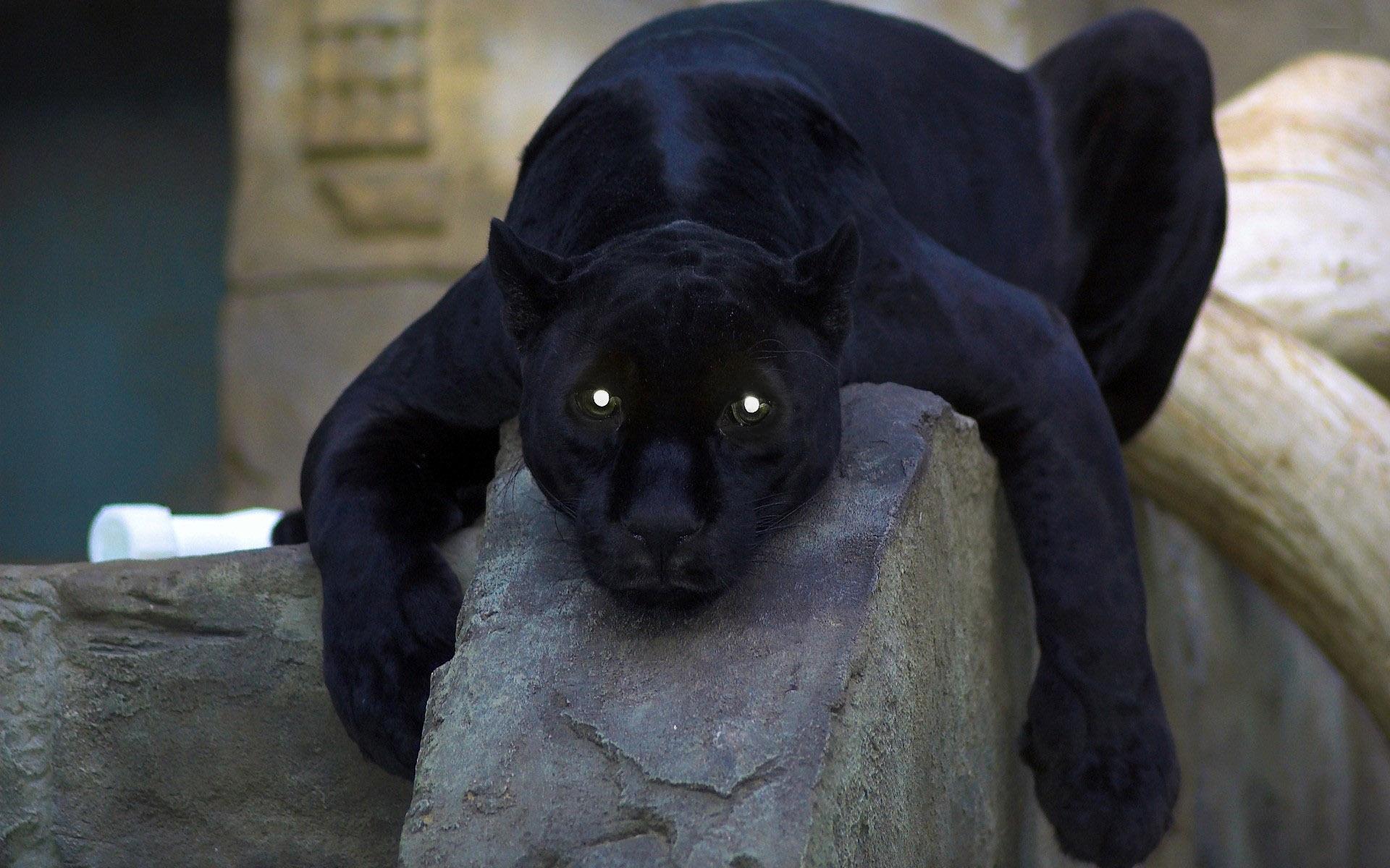 Black panther animal eyes