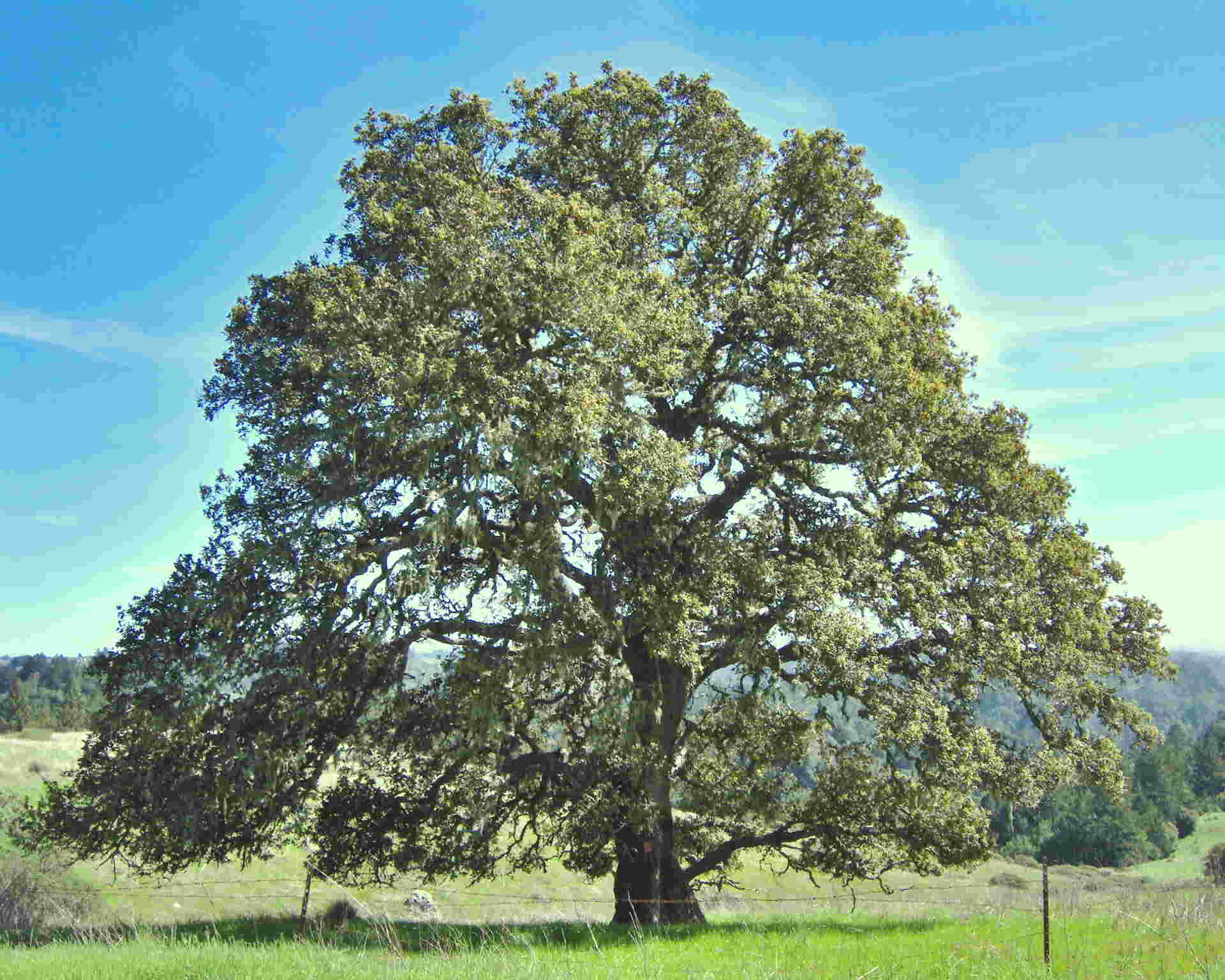 Picture of an Oak tree 1920x1536