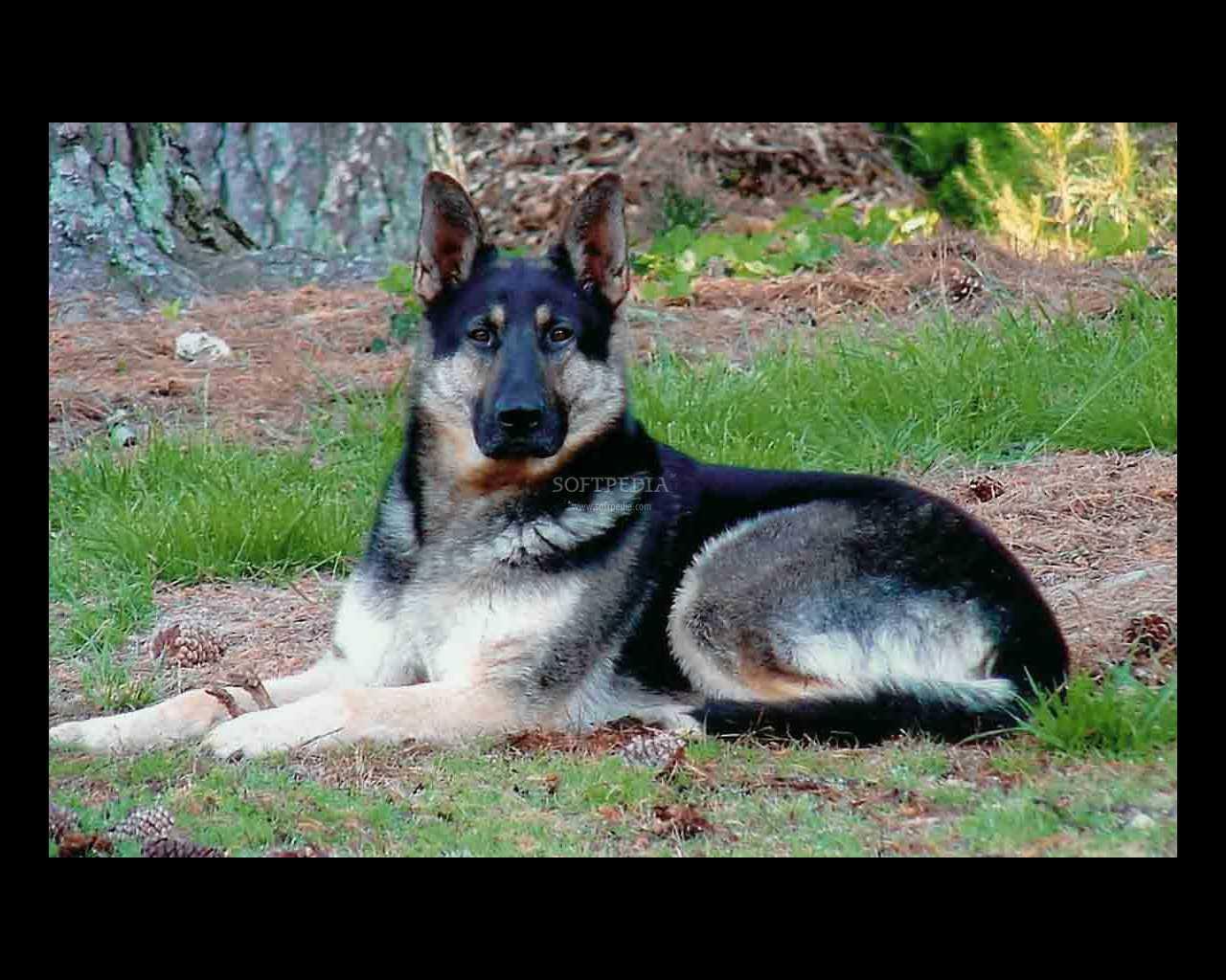 German Shepherd Screensaver   The German Shepherd Screensaver window 1280x1024