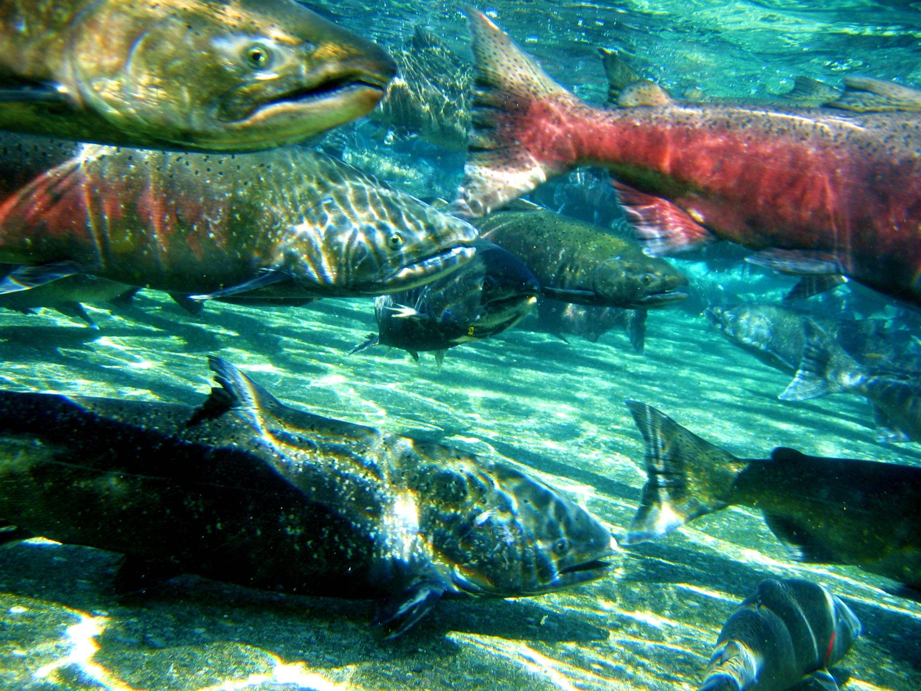 salmon fish river underwater t3 wallpaper background 1880x1410