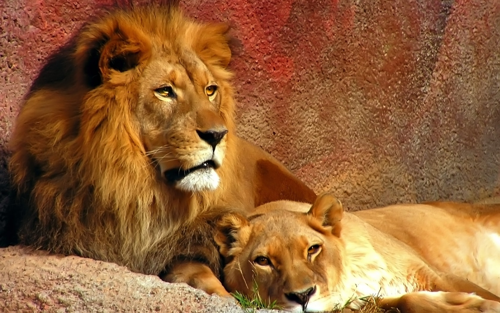 Lions Widescreen Wallpapers HD Wallpapers 1680x1050