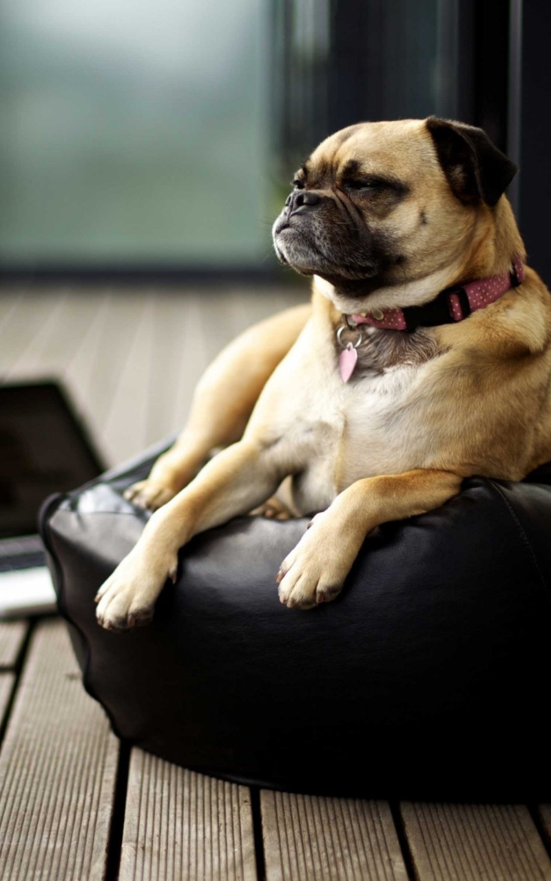 Pug HD wallpaper for Kindle Fire HD   HDwallpapersnet 800x1280