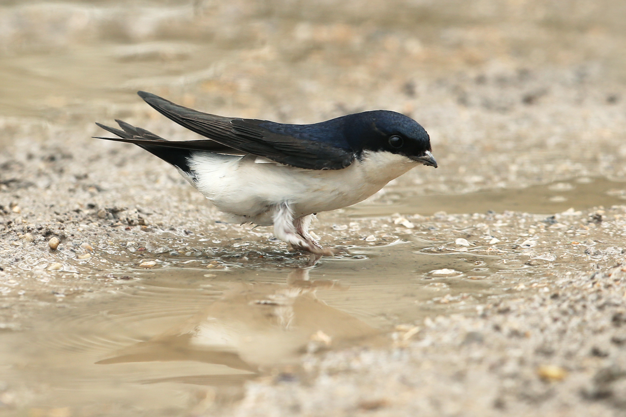 House Martin Bird Wallpaper Full Desktop Backgrounds 1232x821