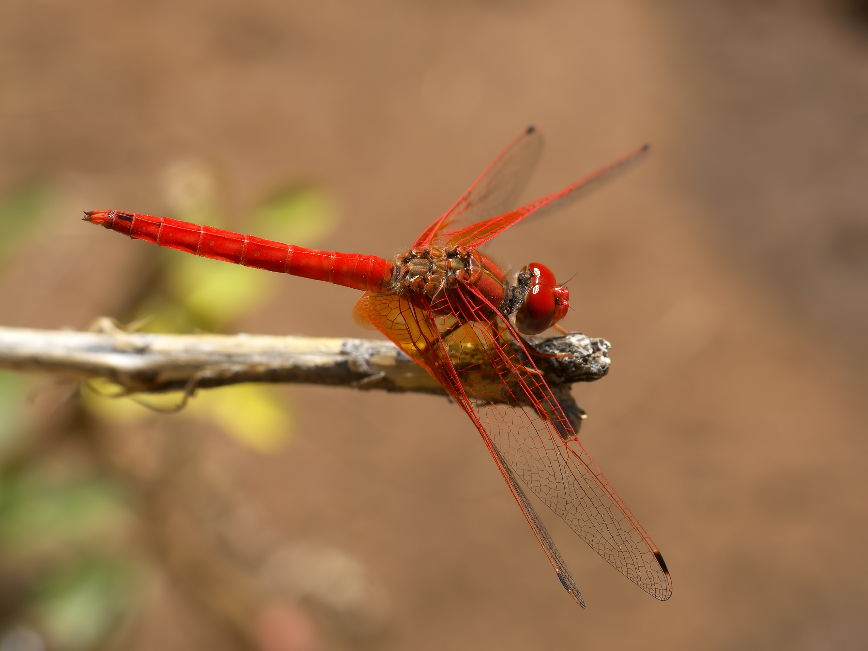 Dragonfly Wallpaper 2821x2116