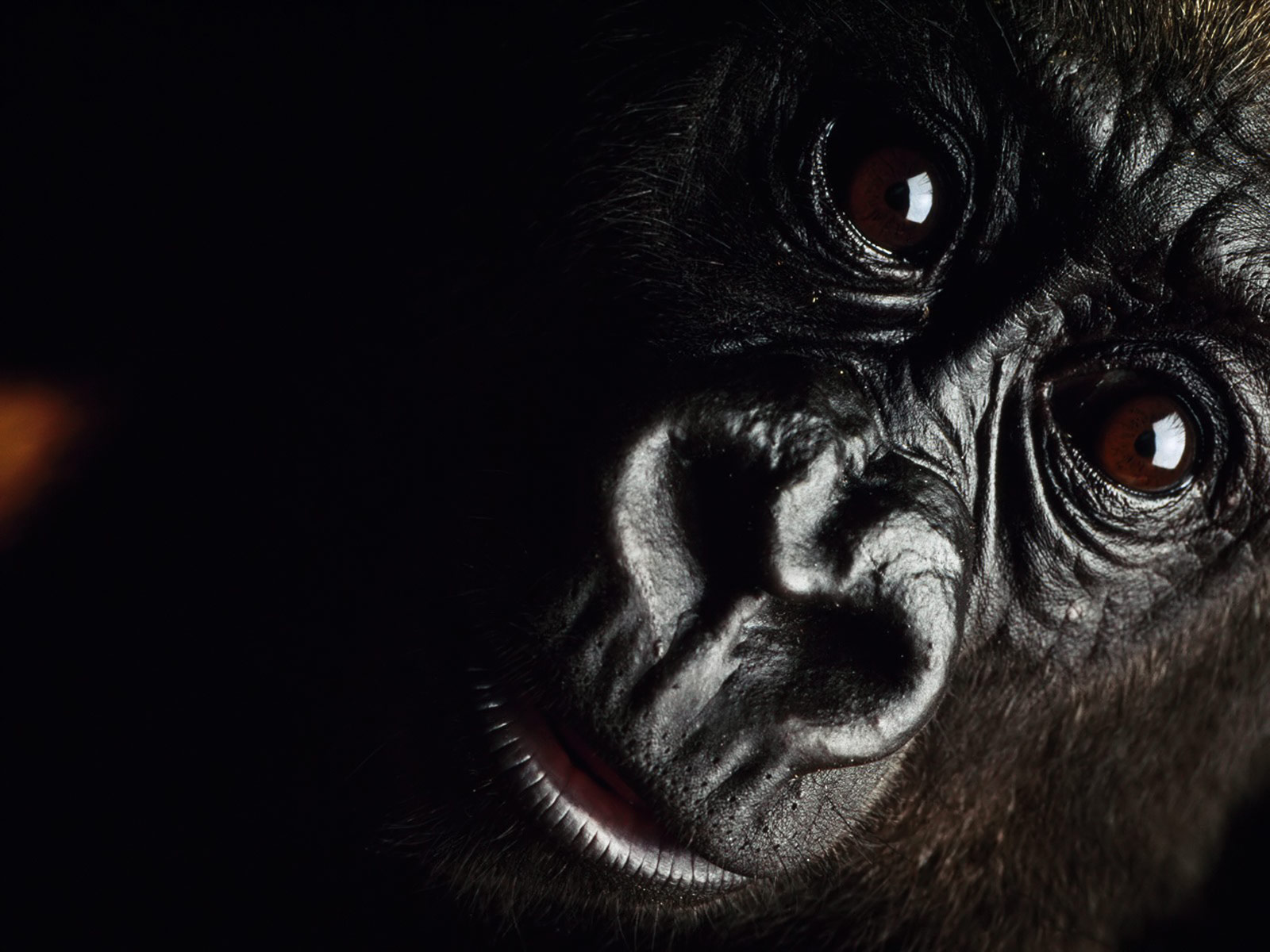 Gorilla Wallpapers Animals Library 1600x1200
