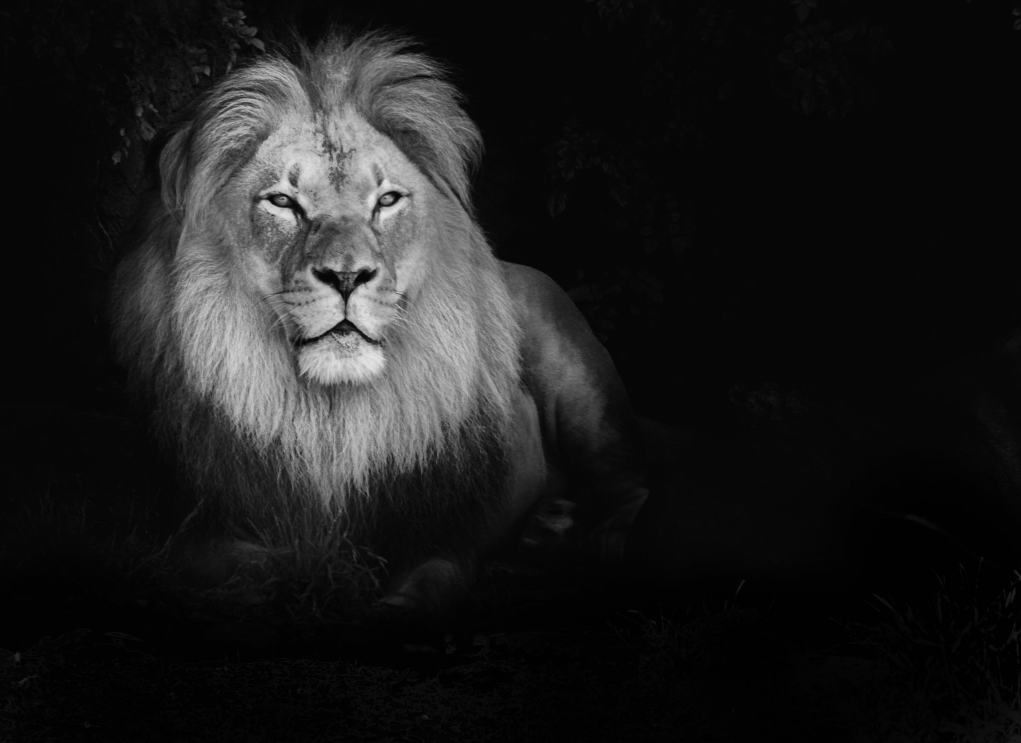 Image Gallery lion face wallpaper black