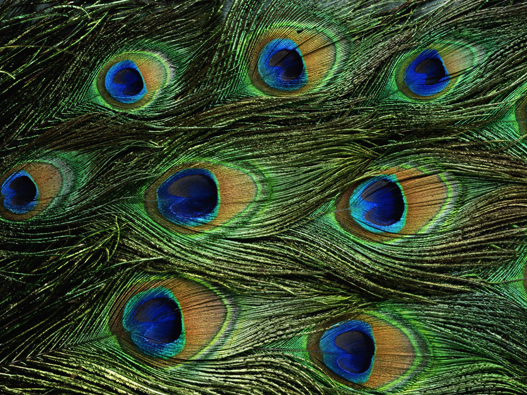 Peacock Feathers Wallpapers Peacock FeathersDesktop Wallpapers 1024x768