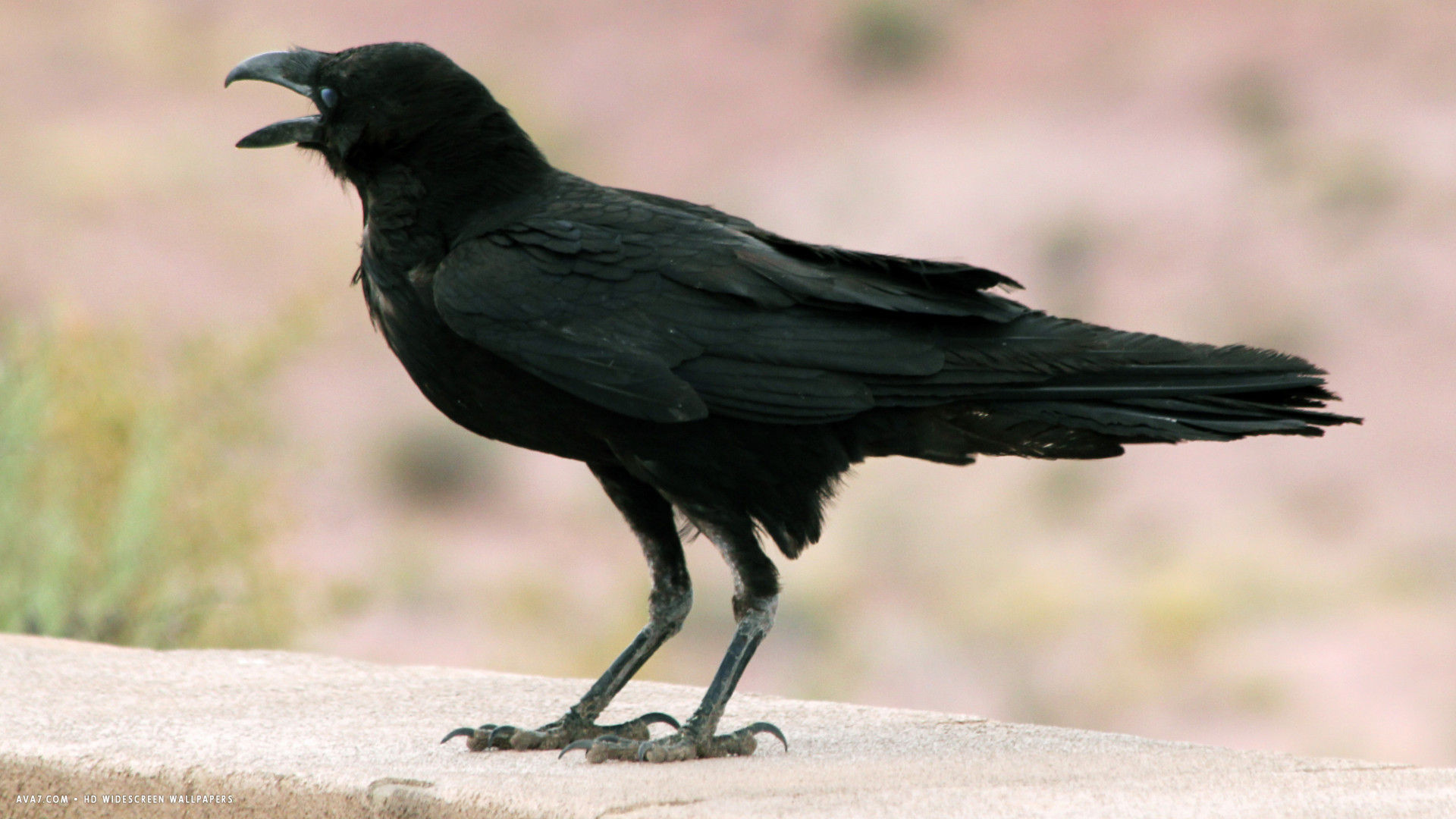 raven chihuahuan corvus cryptoleucus bird hd widescreen wallpaper 1920x1080