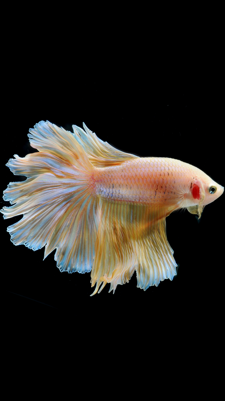 iPhone 6s Wallpaper with Gold Albino Betta Fish in black Background 750x1334