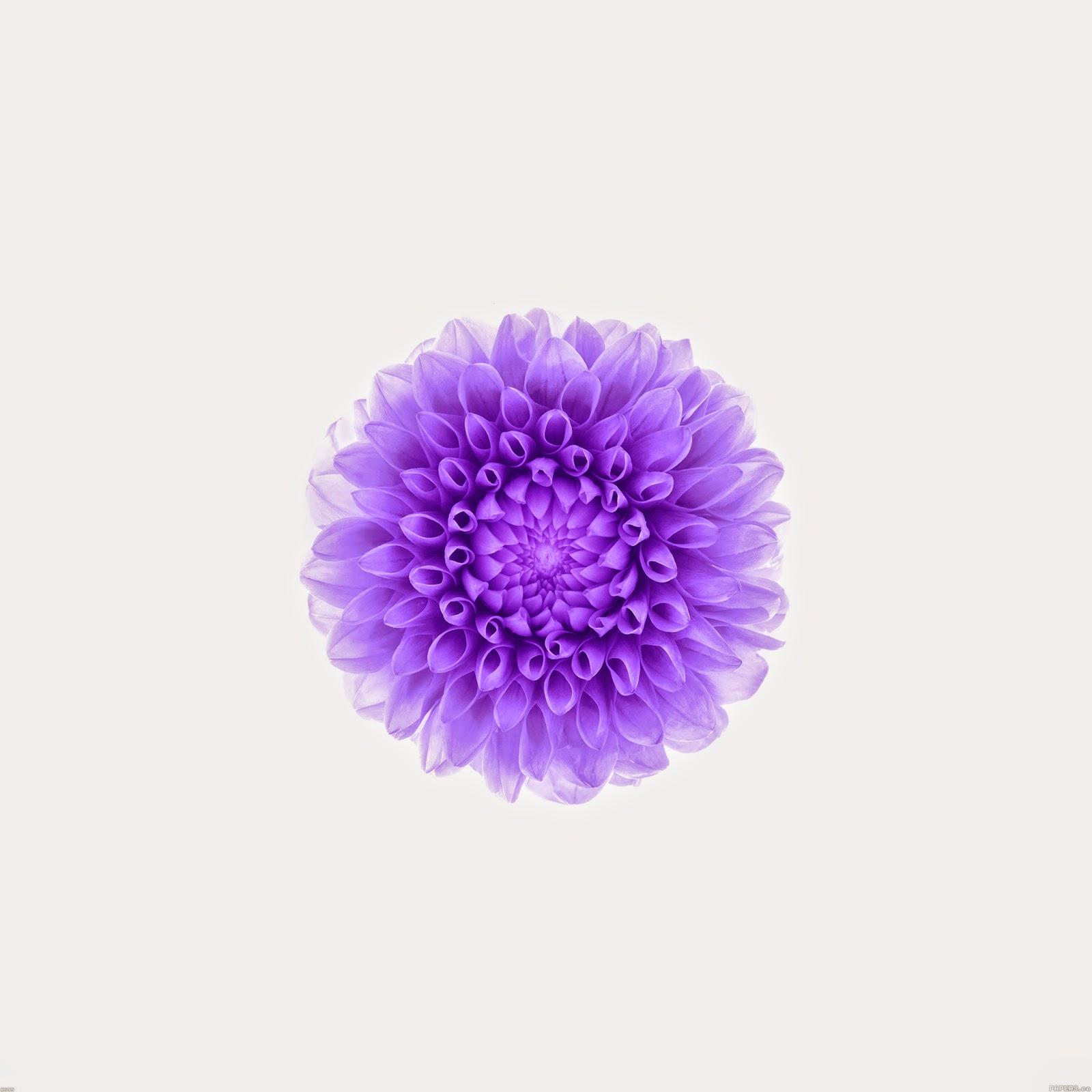 ac95 wallpaper apple iphone6 plus ios8 flower purple 9 wallpaperjpg 1600x1600
