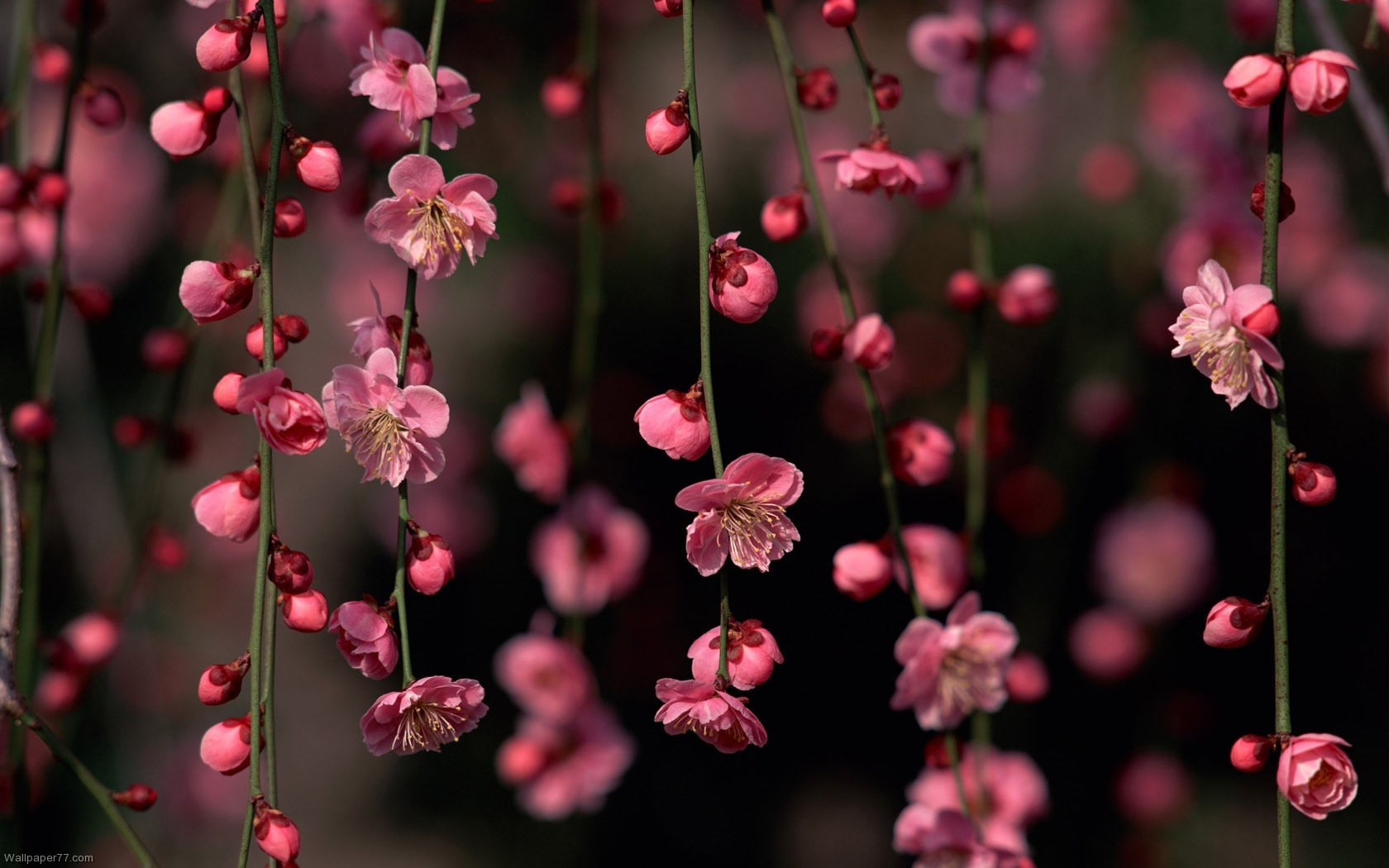 Pink Flower Climber flower wallpapers flowers wallpapers bloom floral 1680x1050