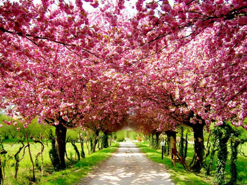 [44+] Cherry Blossom Tree Wallpaper on WallpaperSafari