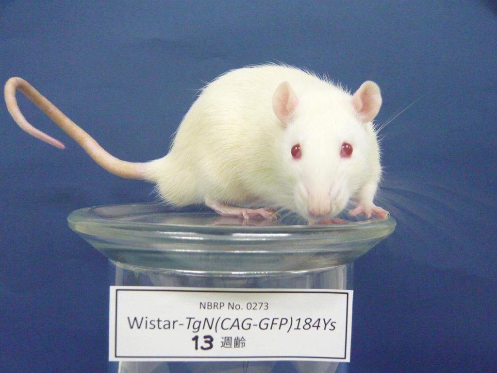 Rat Strains 1024x768
