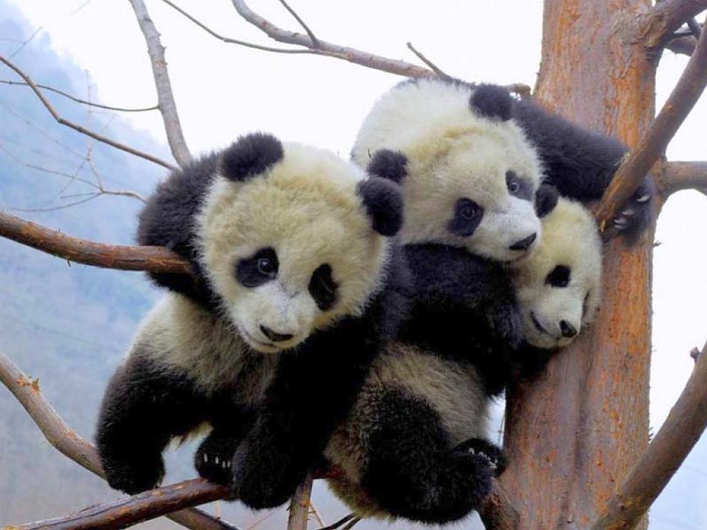 Baby Pandas wallpaper   ForWallpapercom 1024x768