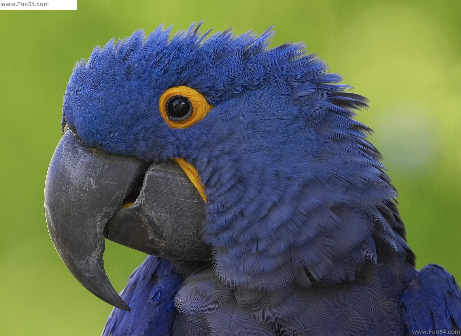 Funny Blue parrot Desktop wallpaper Funny Animal 1600x1168