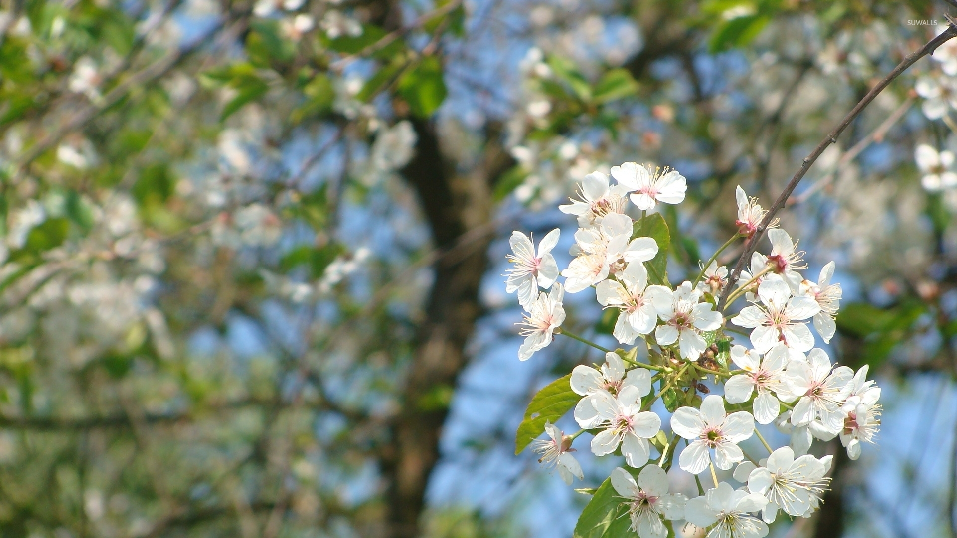 White spring blossoms on a sunny day wallpaper   Flower wallpapers 1920x1080