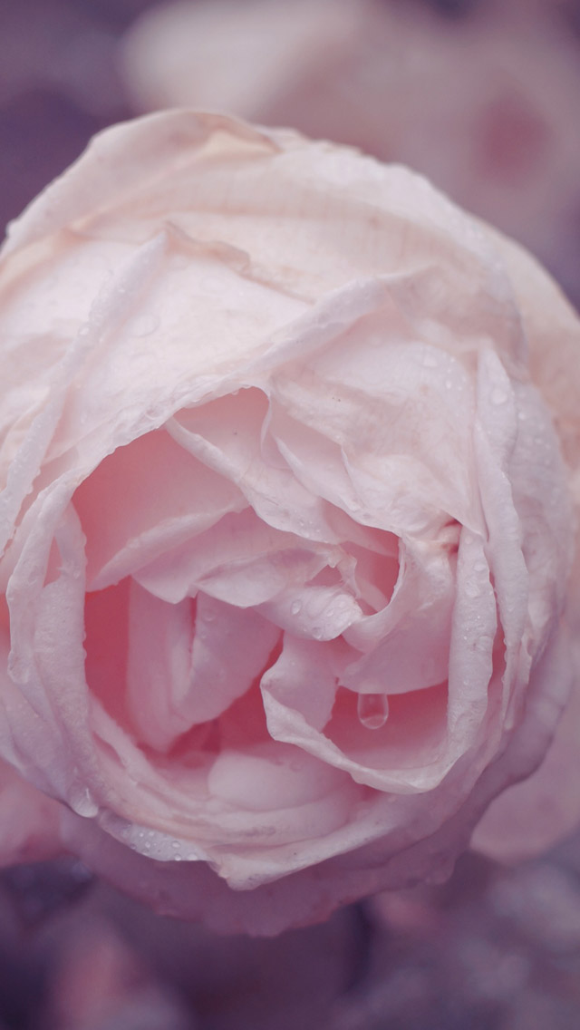 Rose iPhone 5s Wallpaper Download iPhone Wallpapers iPad wallpapers 640x1136
