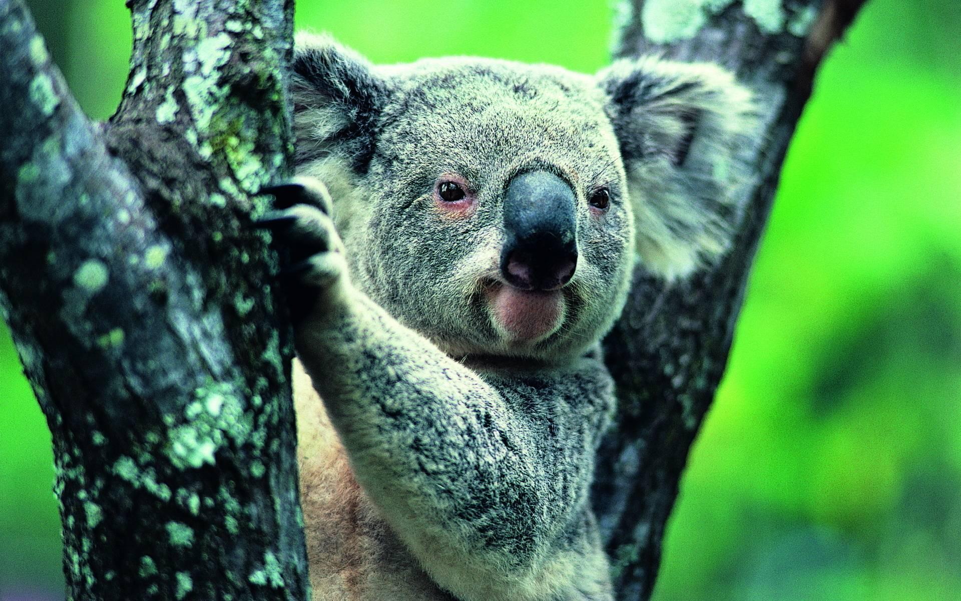 Koala Wallpapers - Wallpaper Cave