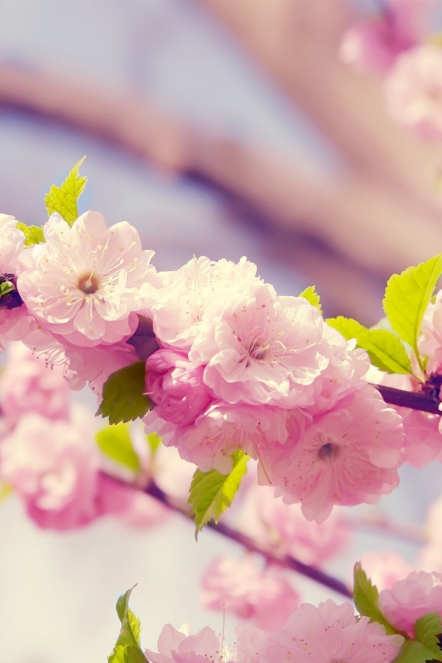 640x960 Japanese Cherry Blossom Iphone 4 Wallpaper