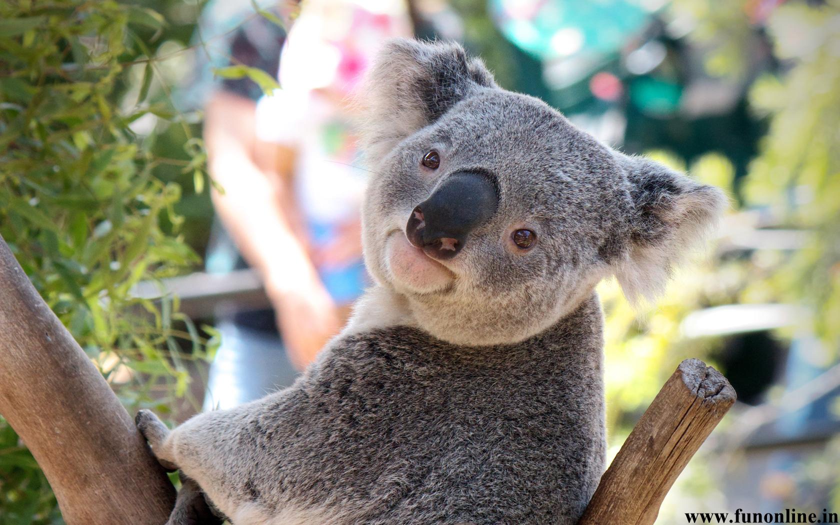 Cute Baby Koala Wallpaper - WallpaperSafari
