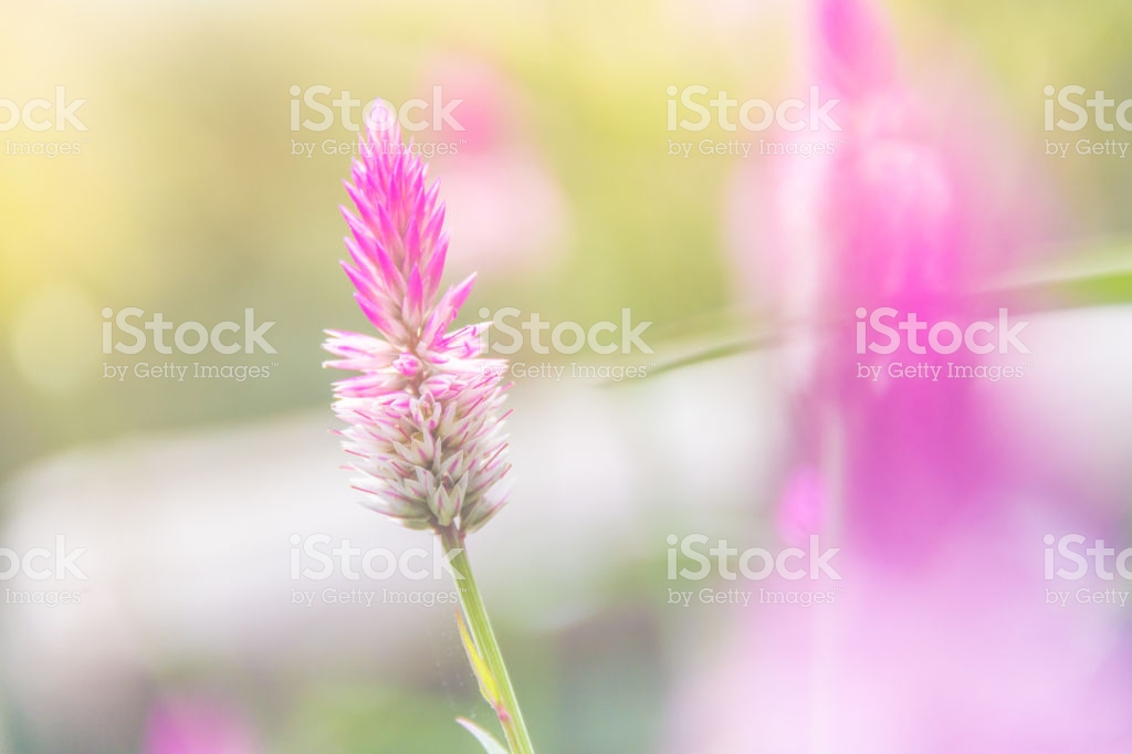 Celosia Argentea Purple And White Flower Beautiful Pink Celosia 1024x682