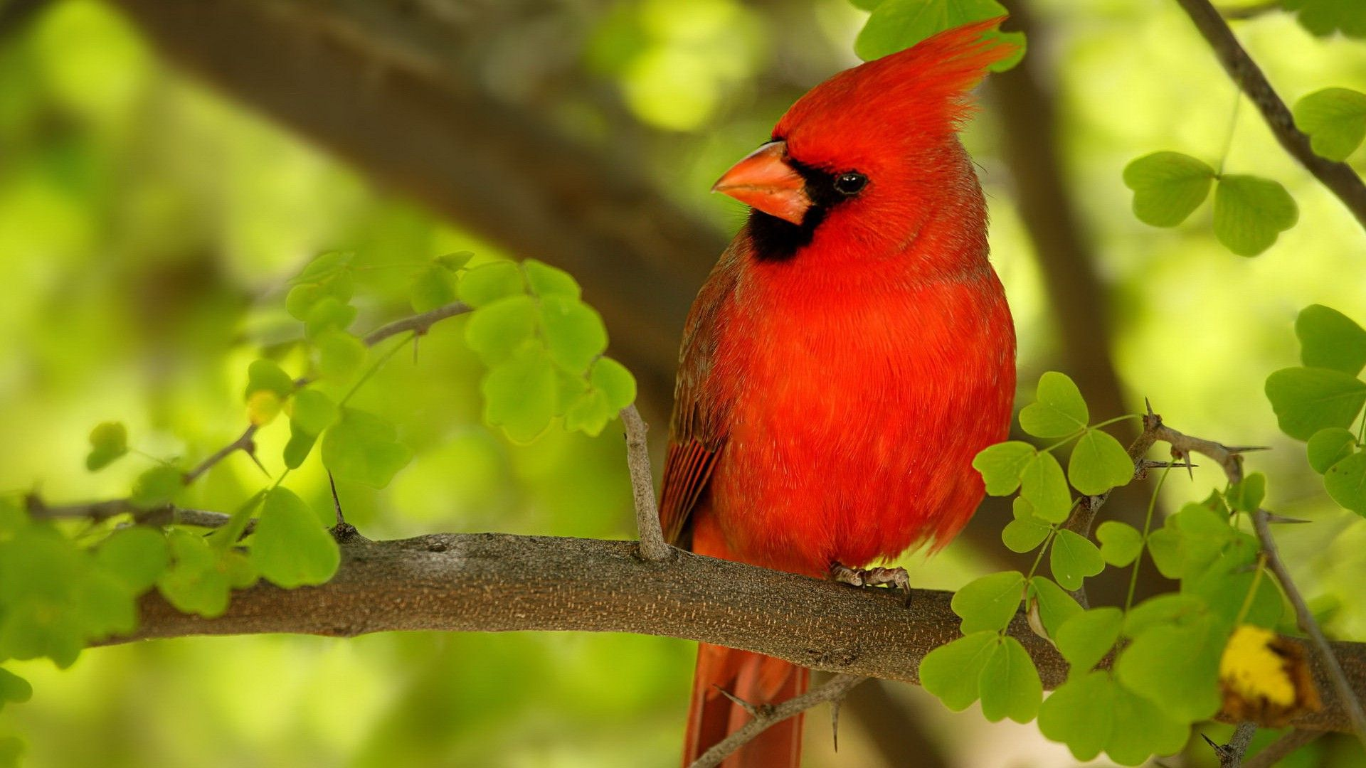 Red Bird HD 1080p Wallpapers Download Places to Visit Bird 1920x1080