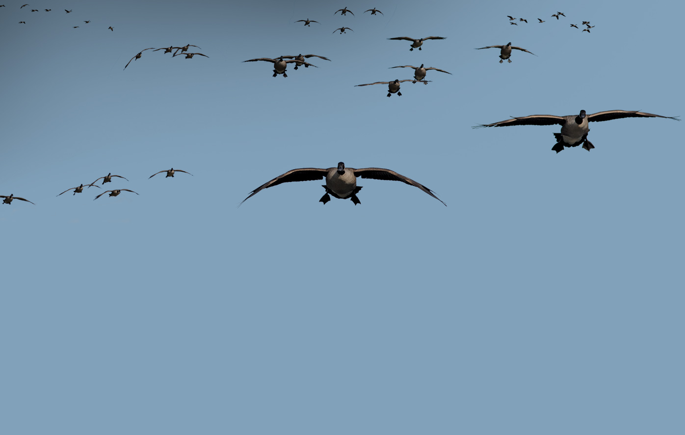 Go Back Images For Canadian Goose Hunting 1396x887