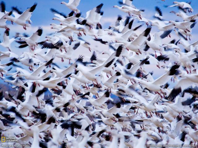 Goose Hunting Wallpaper If you like waterfowl hunting 640x480