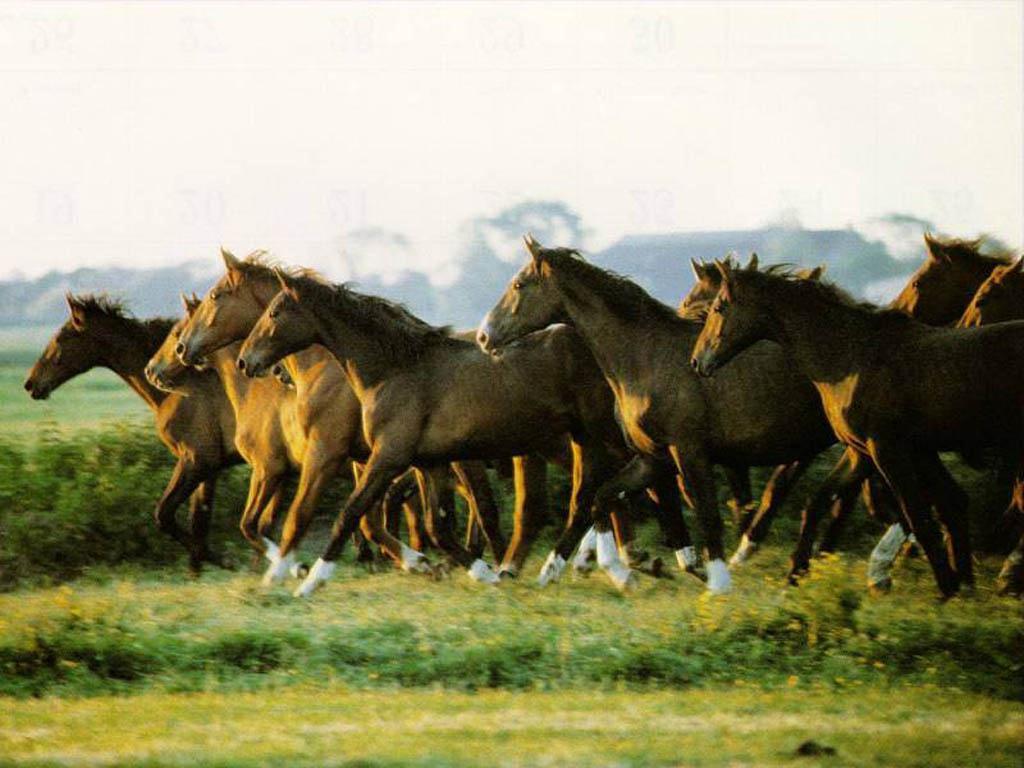 horse wallpaper01 Horse PC Wallpaper 1024x768