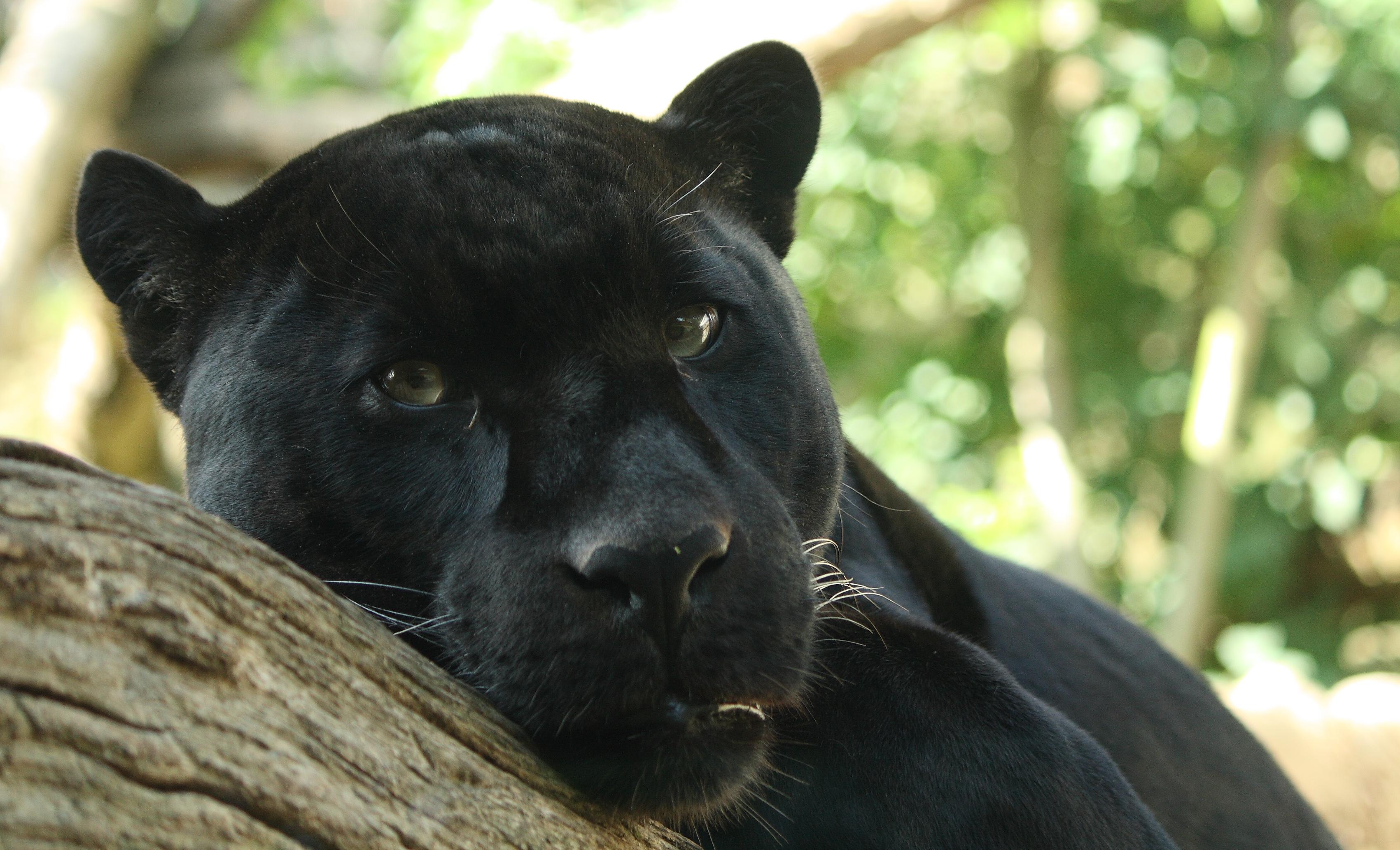 Black Jaguar Animal HD Wallpaper Animals Wallpapers 3400x2066
