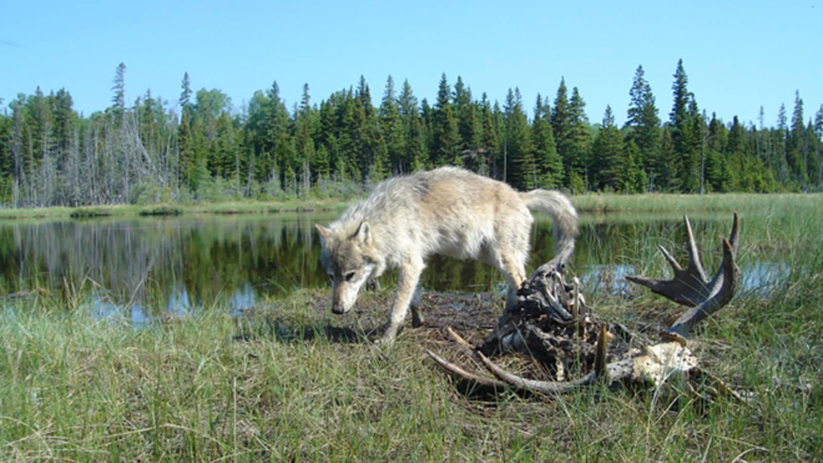 Lone Wolves on Michigans Isle Royale An Island Dilemma 1600x900