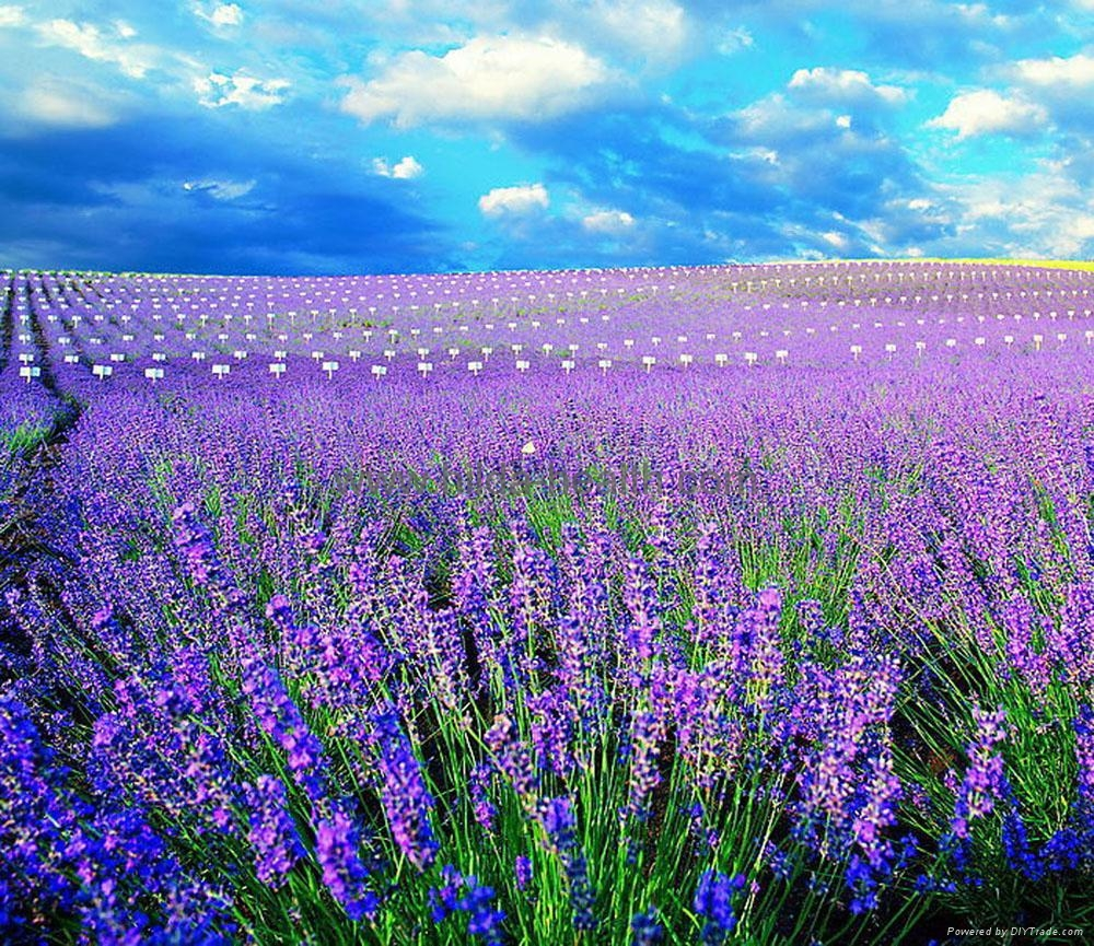 lavender flower wallpaper  wallpapersafari, Beautiful flower