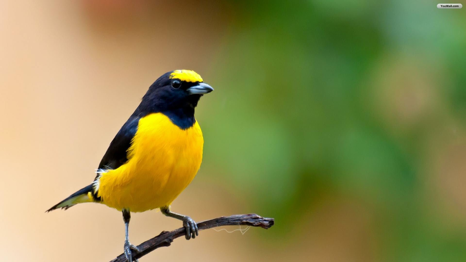 Beautiful Yellow Bird HD WallpaperWelcome To StarChop 1920x1080
